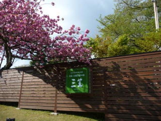 【玄関前の八重桜が満開です♪】