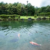 庭園の池と鯉