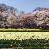 水仙畑と桜