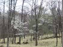 山中に咲く コブシの花