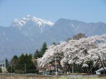 眞原(北杜市)の桜①
