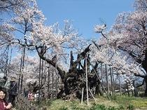 実相寺② (北杜市・神代桜 3月末~4月)