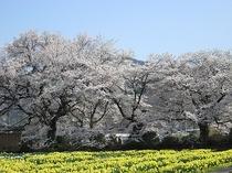 実相寺①(桜と水仙 3月末~4月上旬ころ)