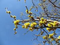 ポーラスター 春のお庭(ダンコウバイ)
