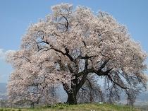 ワニ塚古墳の桜(韮崎市 3月末~4月上旬くらい)