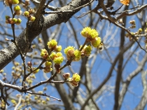 ダンコウバイの花