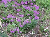 ポーラスターの庭⑤ 4月~5月初旬 サクラソウ