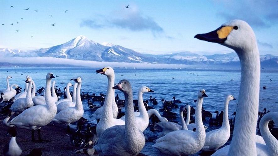 湖面に映える白鳥と磐梯山