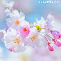 南房総の春は菜の花の黄色やサクラのピンクでとても華やかです。