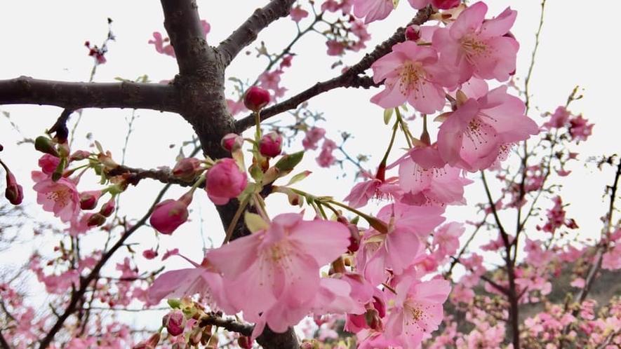 *河津桜/一足早い春を告げる河津桜。例年見ごろは2月初旬~中旬です