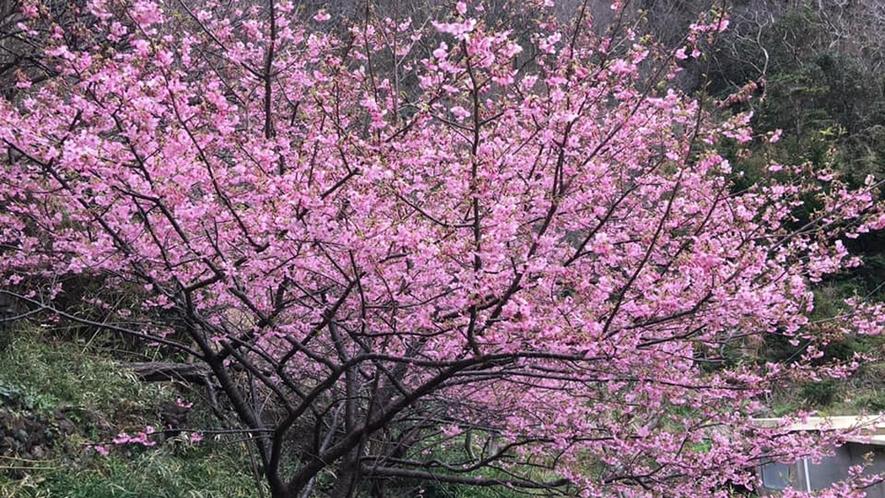 *河津桜/あざやかなピンクのお花が素敵★季節はまだ冬ですが温かい気持ちになります