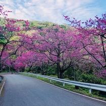 寒緋桜(本部町八重岳)