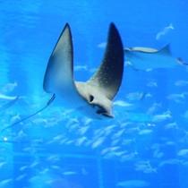 【美ら海水族館】黒潮水槽 まるで飛んでいるようなマダラトビエイ