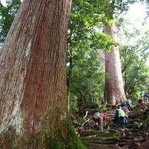 トレッキング樹齢1000年の市房杉