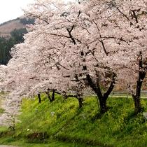 汗の原の桜吹雪
