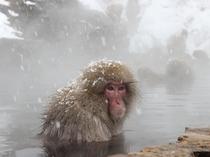【観光スポット】地獄谷野猿公苑のスノーモンキー