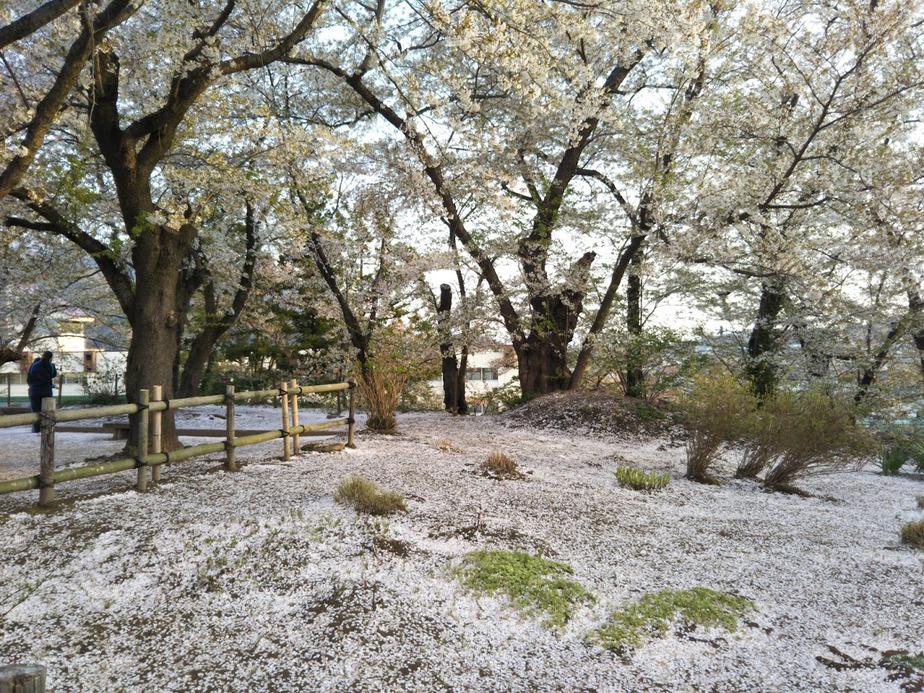 飯山城跡の桜