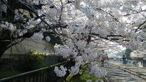 蹴上春の桜花