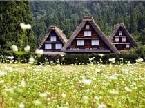 【秋季】合掌造り&蕎麦の花の風景