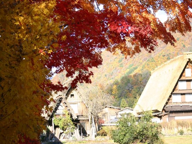 【秋季】白川郷合掌集落内にある本覚寺のモミジ
