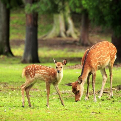 奈良の鹿は国の天然記念物として大切に保護されています。