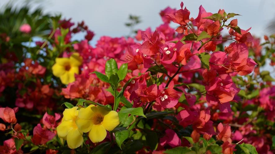 【シギラビーチ(リゾート内)】アラマンダ(花言葉:恋に落ちる前)とブーゲンビレア(花言葉:情熱)
