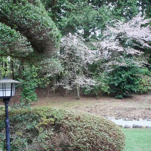 Sakura in the yard.