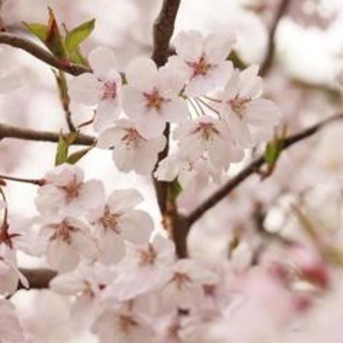 春:霞城公園の桜(4月)01