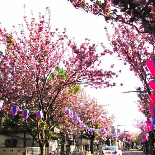 有名なボタン桜まつりです♪♪