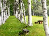 【県民の森しらかば並木】新緑の時期は、白の幹と鮮やかな緑の葉のコントラストがとても綺麗です。