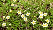 【チングルマ】高山植物の一種で、シーズンに入るとまるで花のじゅうたんのような見ごたえ。