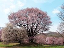 【県民の森(春)】『夫婦桜』は、他の桜と離れた小高い場所で寄り添うように花を咲かせています。