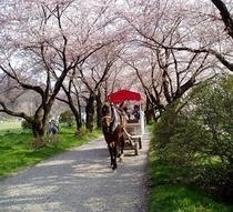 ●桜並木と馬車