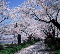 ●展勝地の桜並木