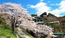 佐渡金銀山 桜