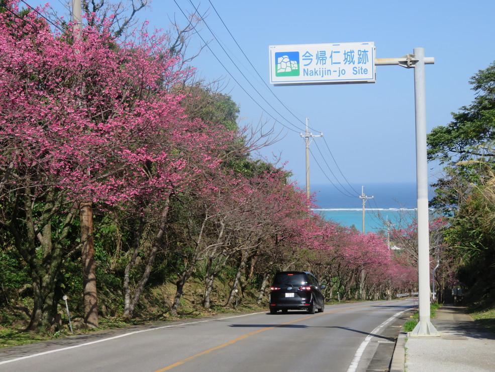 今帰仁城跡桜まつり