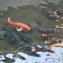 *自然の湧き水を使い約千匹の鯉を養殖しています