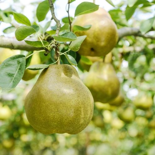 ■ラフランス:10月中旬~11月上旬フランス生まれの山形育ちの果物