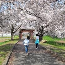 ■観光:高畠駅を起点に約6kmサイクリングロード沿線には約700本の桜並木♪散策に最適!
