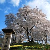 ■観光:高畠町の一本桜『峰岸桜』