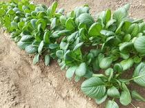 自家栽培の小松菜