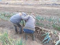 下仁田ねぎの収穫
