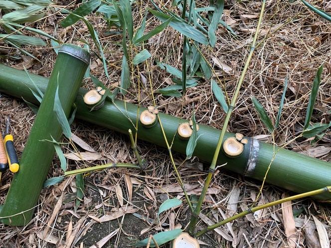 竹のカエル2