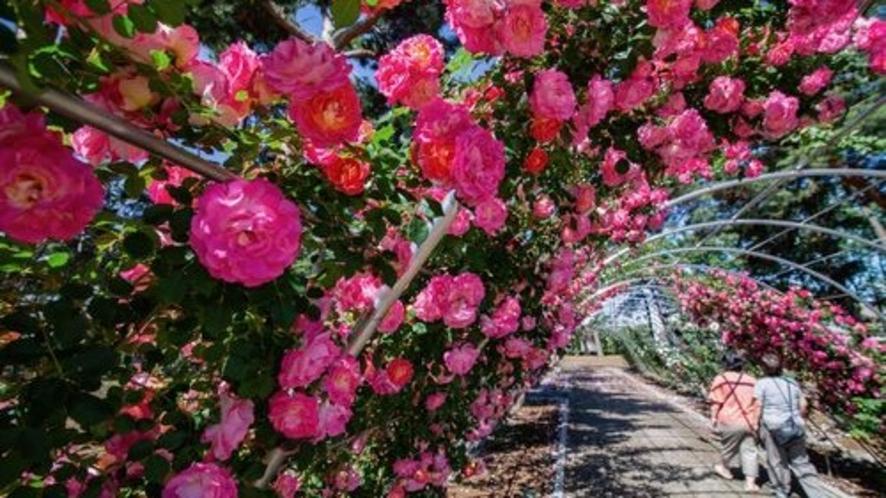 ■前橋バラ園(写真提供:前橋観光協会)