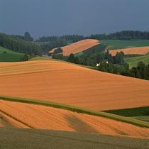 秋の美瑛の丘