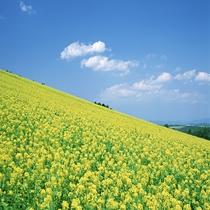菜の花畑(6月~7月)