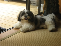 私たちの息子。愛犬小鉄です。