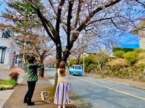 満開の伊豆高原桜並木は一見の価値ありです!