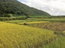奄美では希少な稲作が残る地域