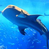 美ら海水族館【車で約80分】